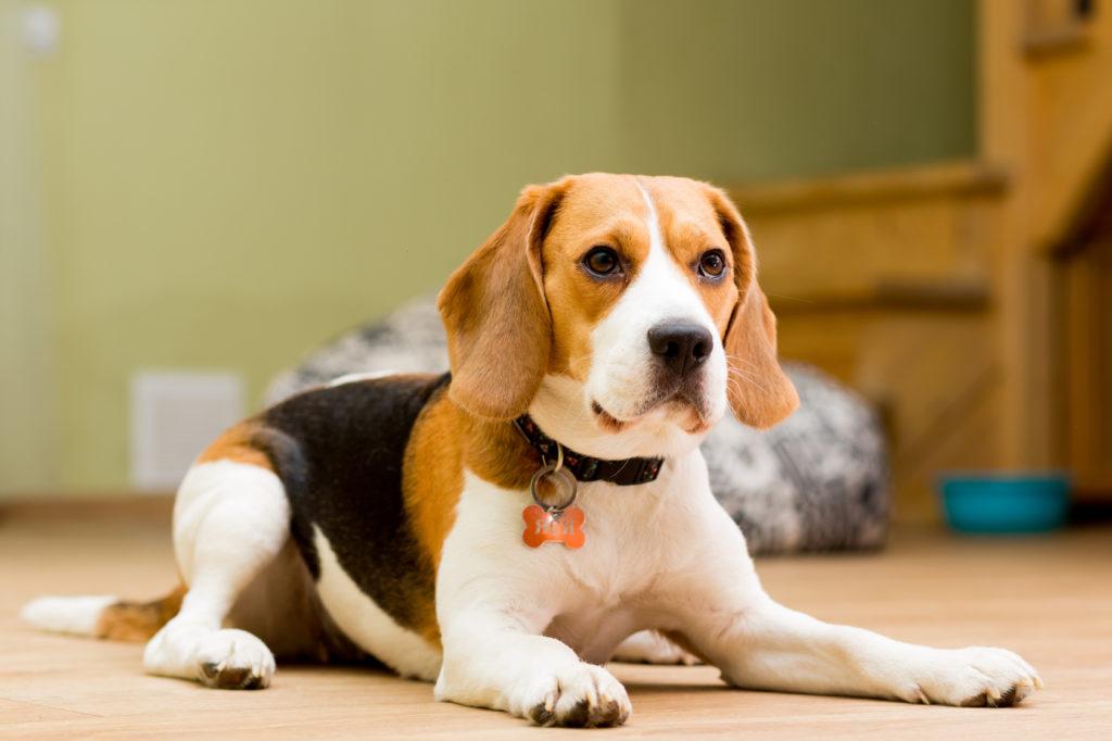 Beagle Hundeblick