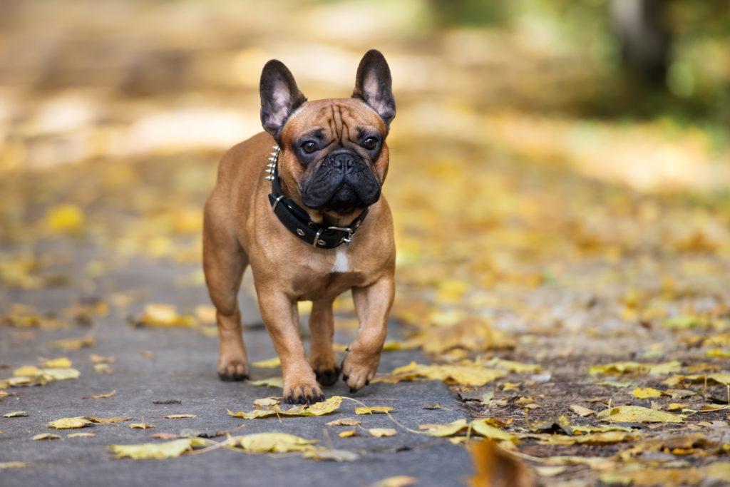 Französische Bulldogge im Erbst