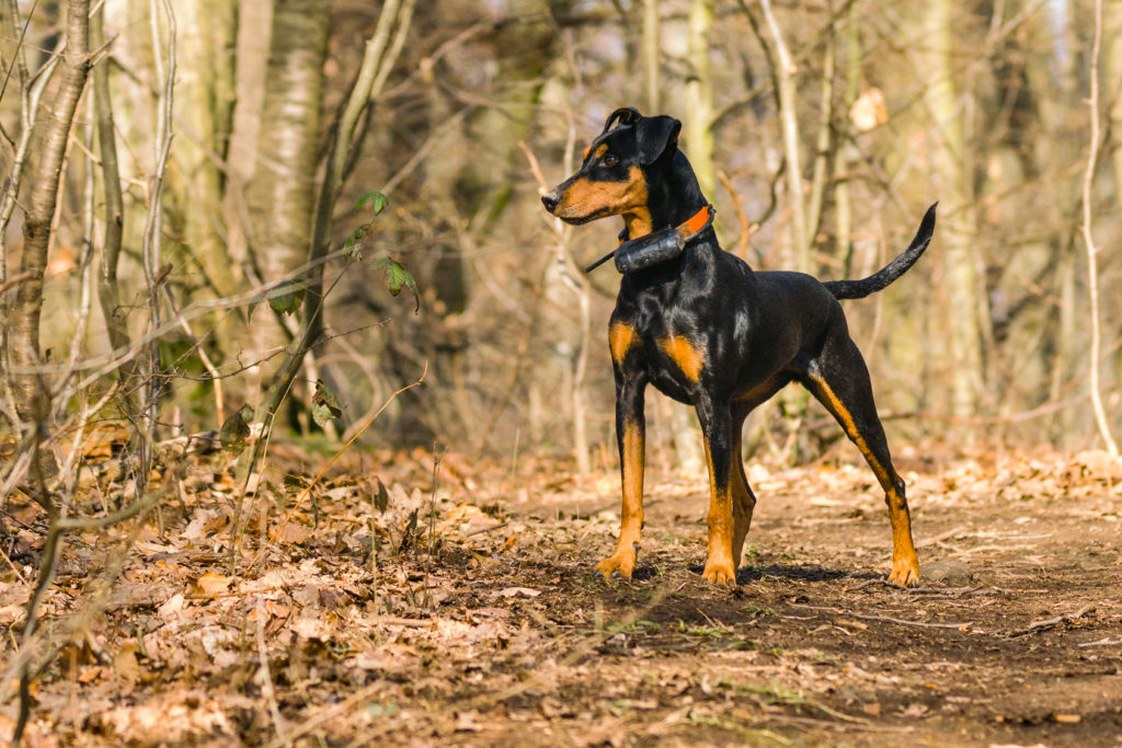 deutscher pinscher im Wald