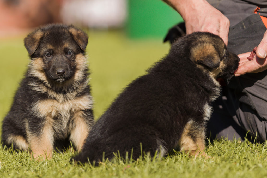 deutscher schäferhund Welpen
