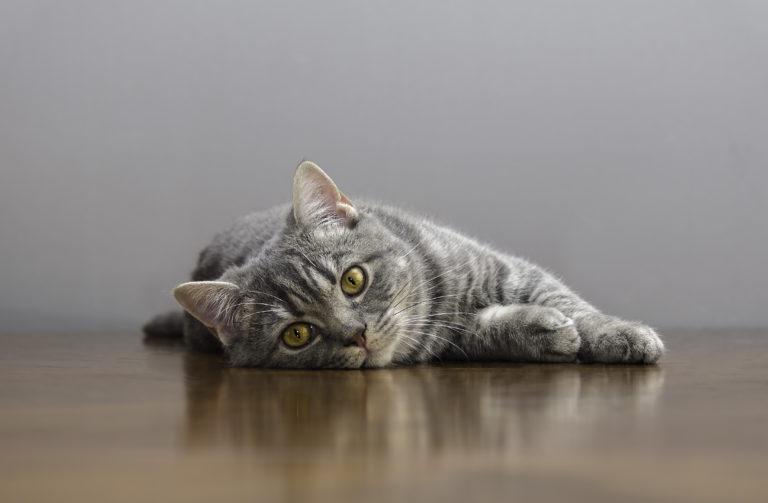Kissan kiima-aika