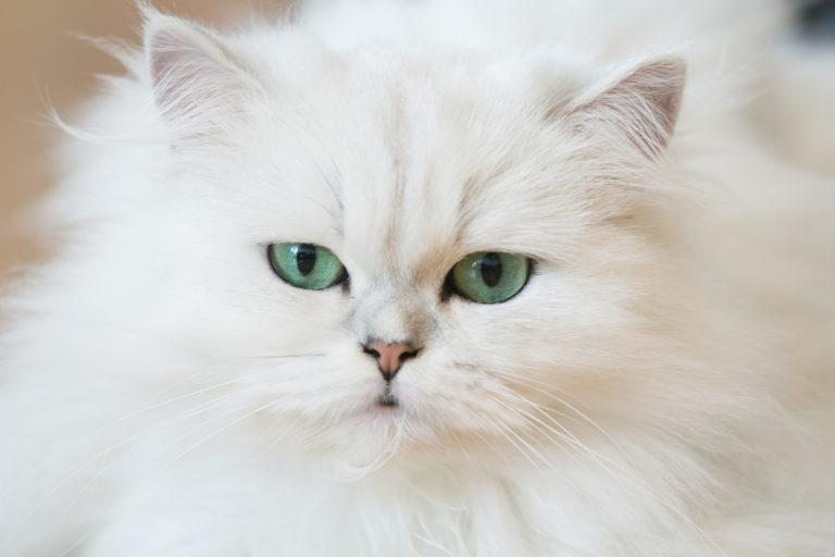 Persialainen kissa