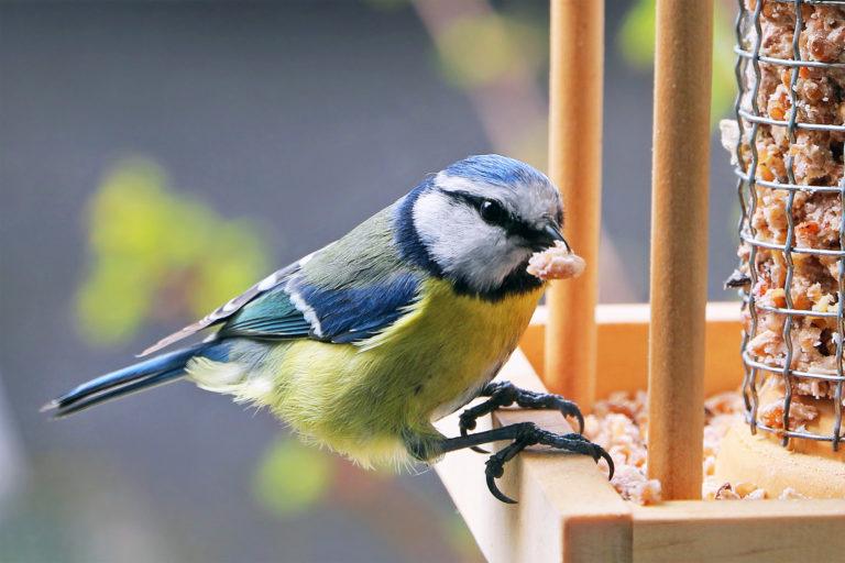 luonnonvaraisten lintujen ruokinta