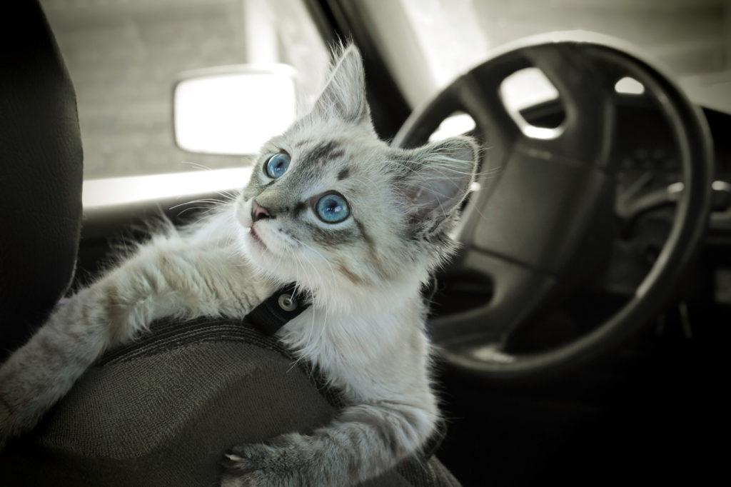 Kätzchen im Auto