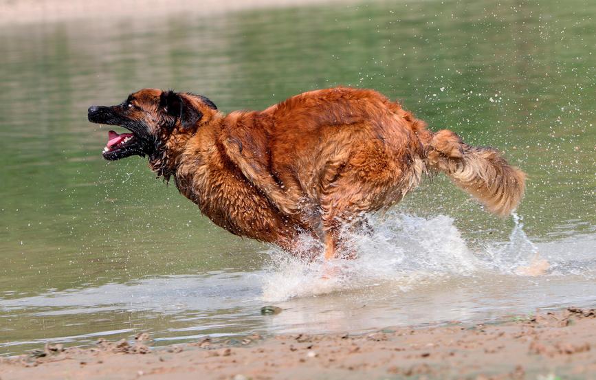 leonberger läuft im wasser