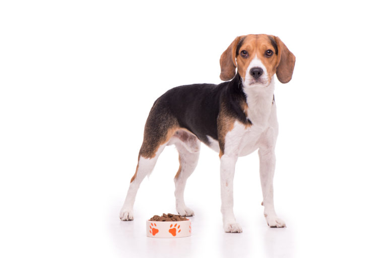 beagle ruokinta