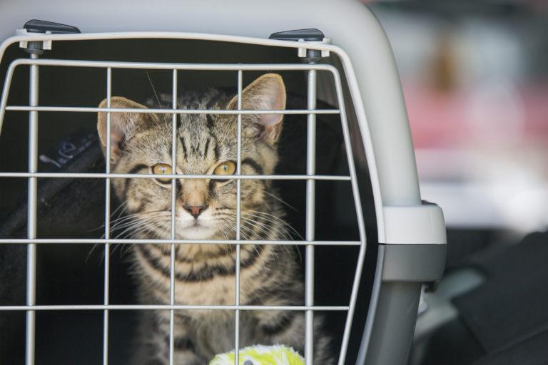 Voyager avec son chat en voiture