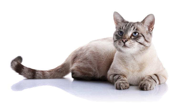 Anticonceptivos para gatos