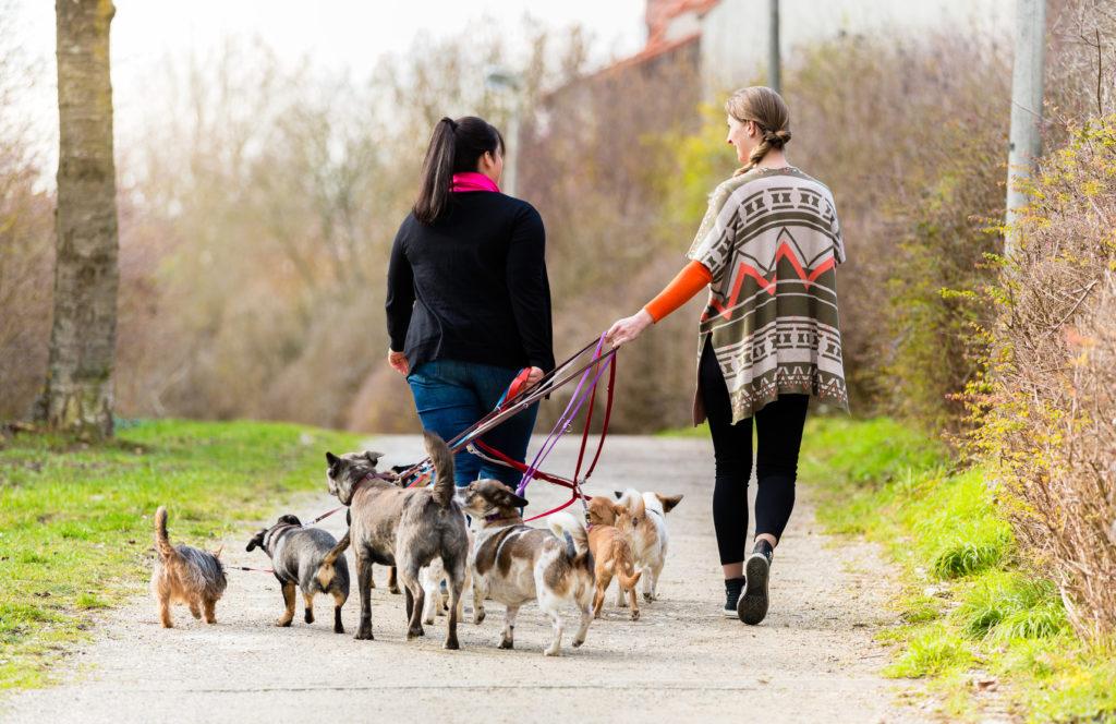 hundesitters mit viele hunde