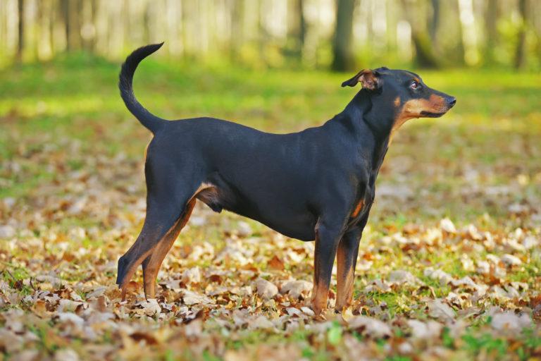 Nämä ovat aggressiivisimmat koirarodut - Isot rodut viihtyvät otsikoissa, mutta totuus voi yllättää