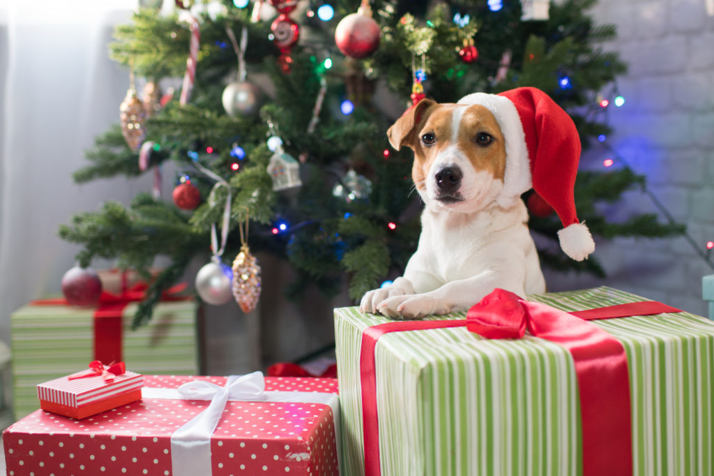 Jack Russel sitzt vor einem Weihnachtsbaum