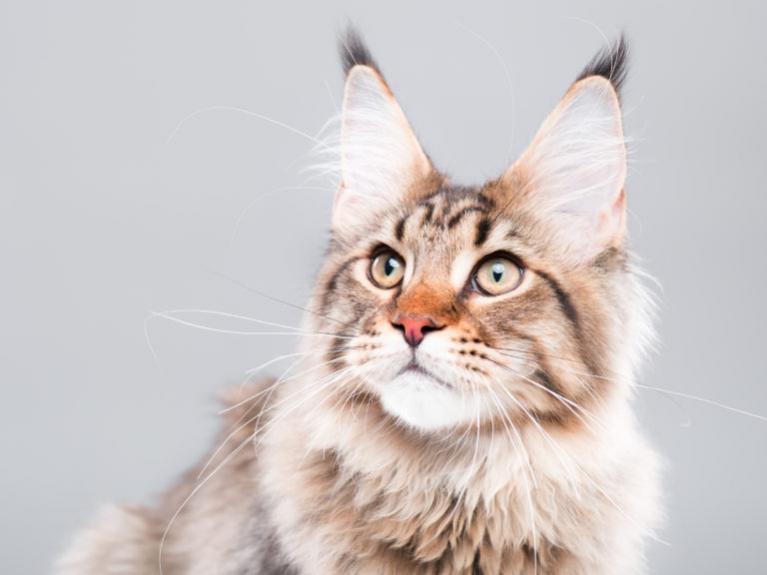 Kissan ikä