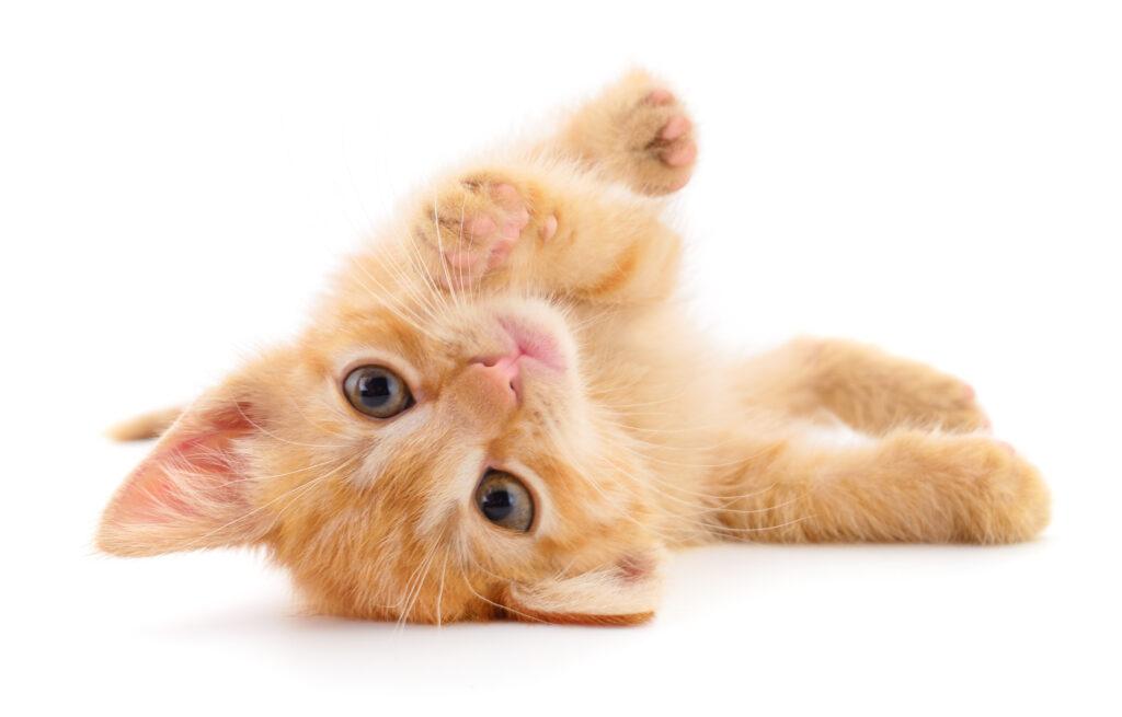 Pieni vaalea kissanpentu pyörii