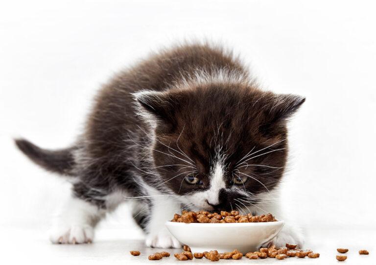 Kissan ruokinta