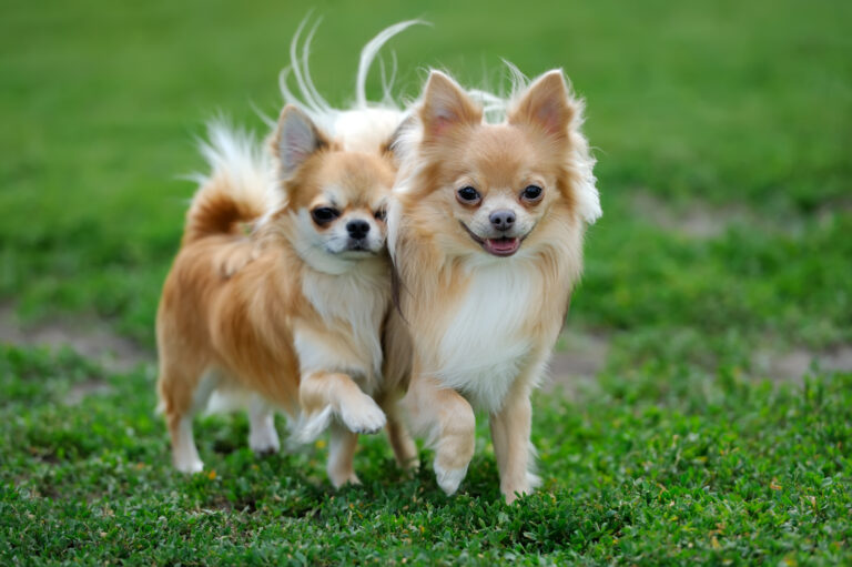 Kaksi pitkakarvaista Chihuahuaa