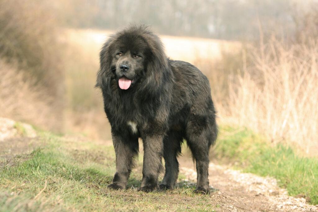 schwarze tibet dogge