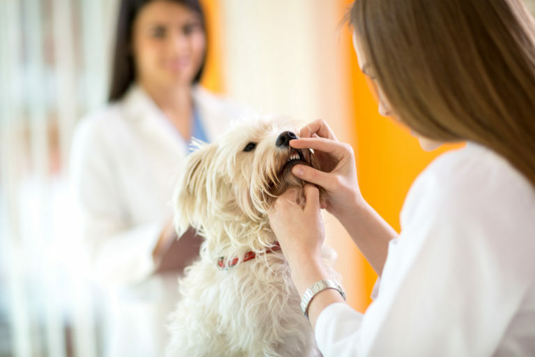 koiran hammaskivi