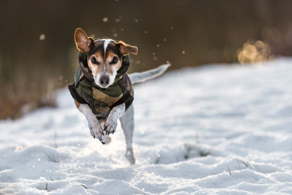 Koira juoksee lumessa