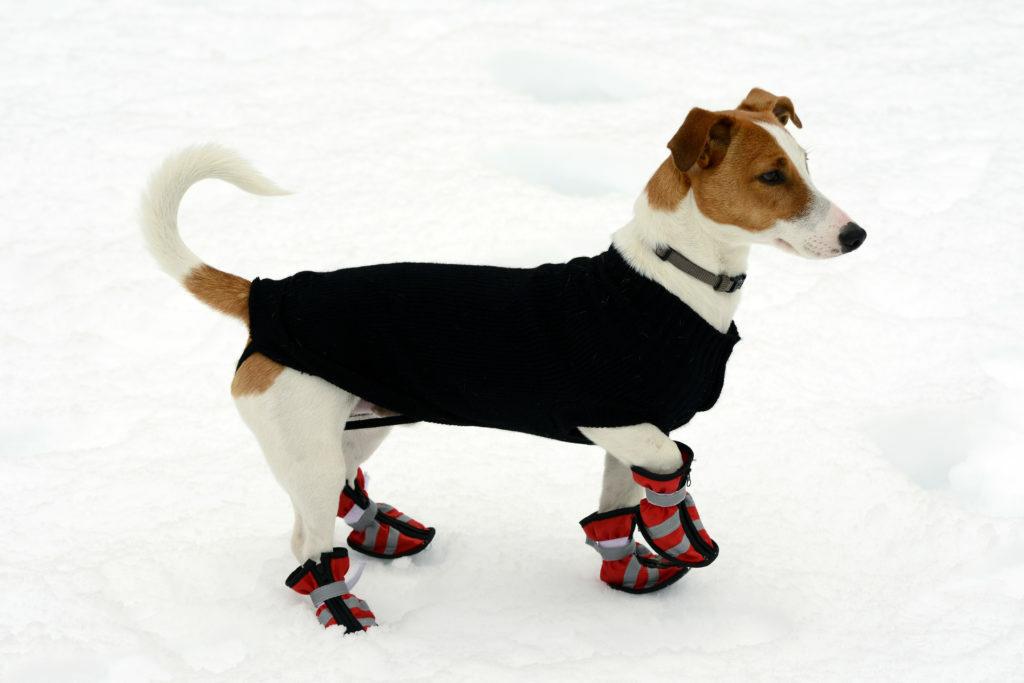 Koira talvitakissa ja tossuissa lumessa