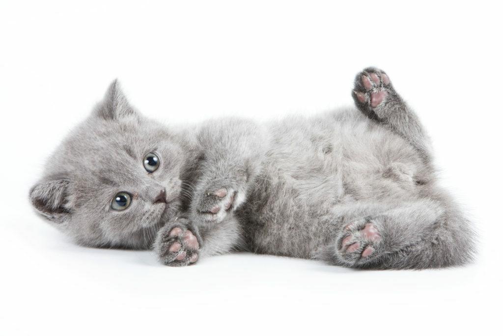Kissanpennun madotus
