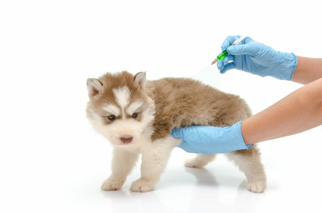 Koiran rokotukset