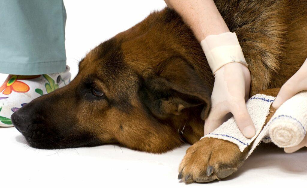 Hund bekommt Verband an der Pfote.