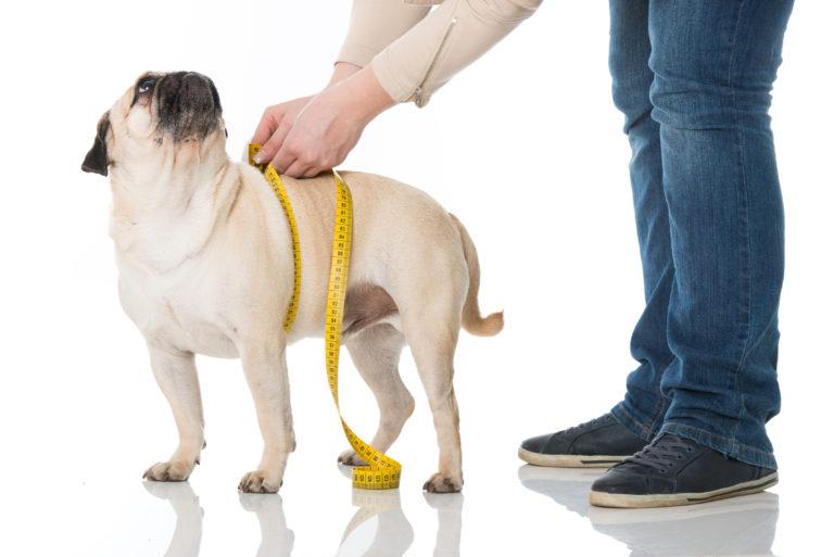ylipainoisen koiran ravinto