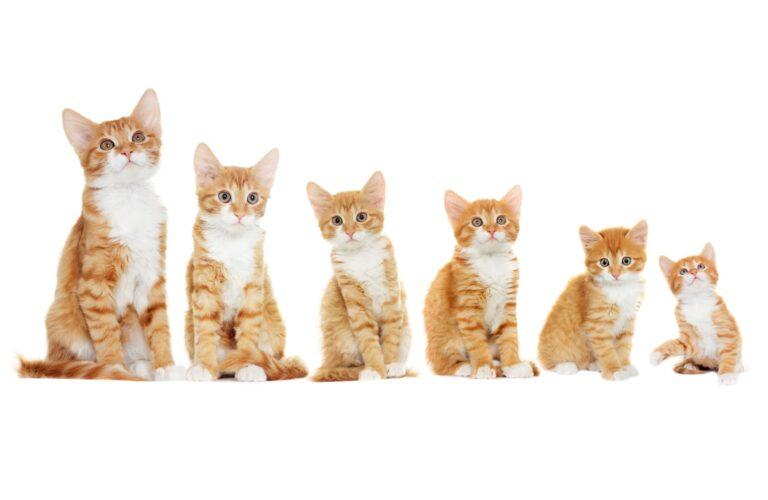 Kissan 6 kasvuvaihetta