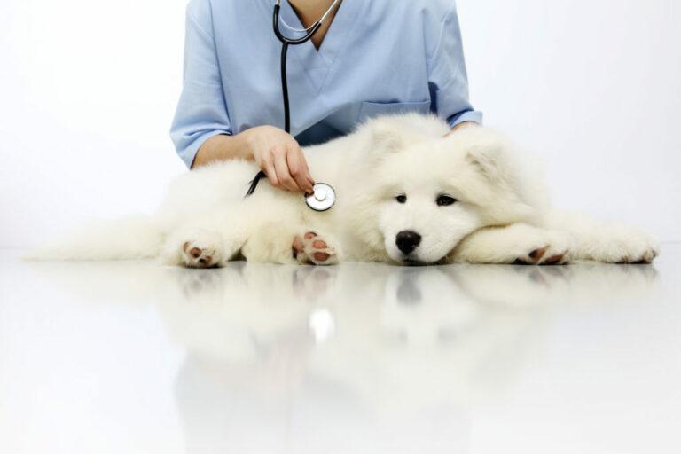 koiran virtsarakon tulehdus