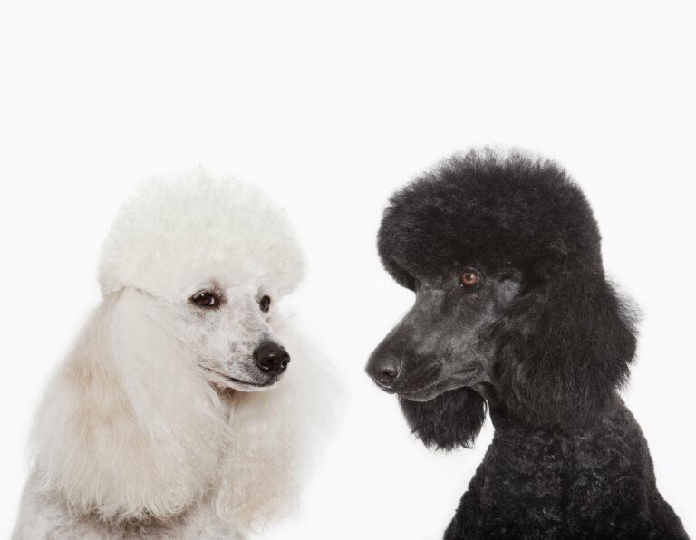 Musta ja valkoinen villakoira