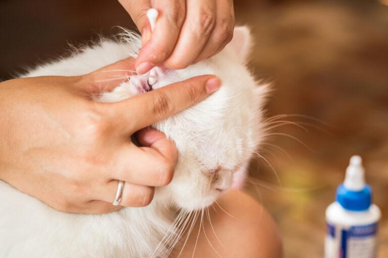 Kissan korvien puhdistus
