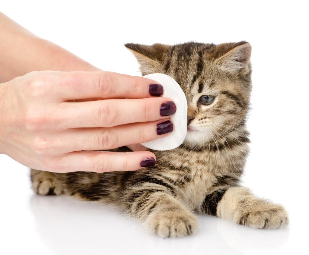 Kissan silmien puhdistus