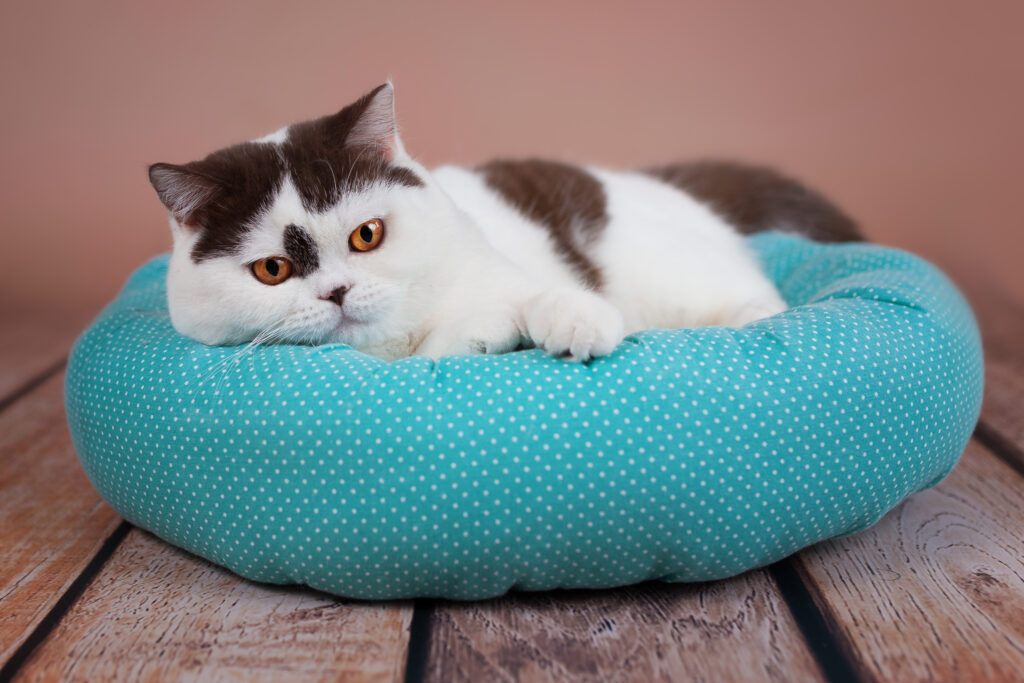 Kissa lepää sinisellä kissanpedillä