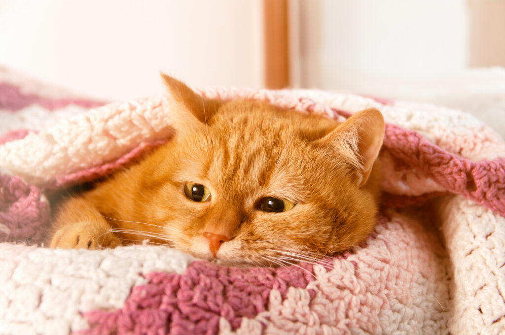 Punainen kissa toipuu virtsatietulehduksesta