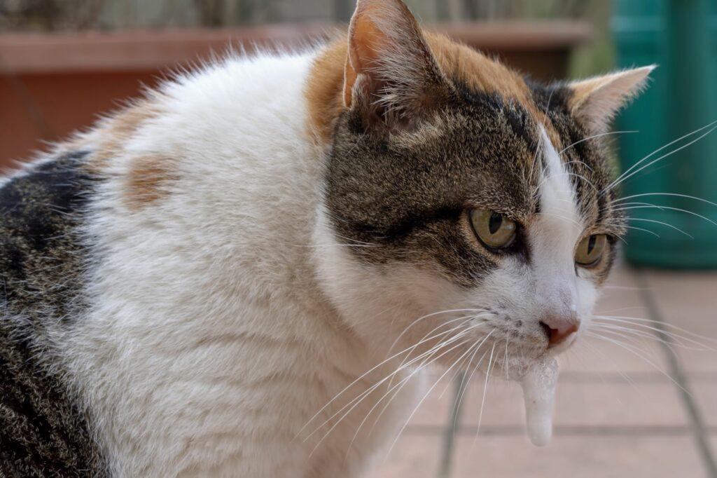 Kissalle myrkylliset kasvit ja oireet