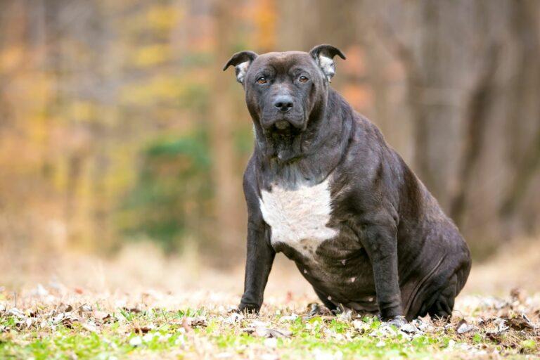 Koiran ylipaino