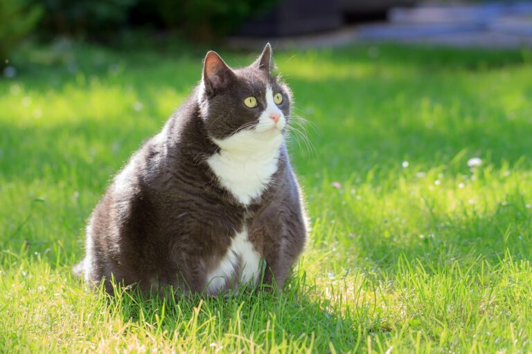 kissan ylipaino