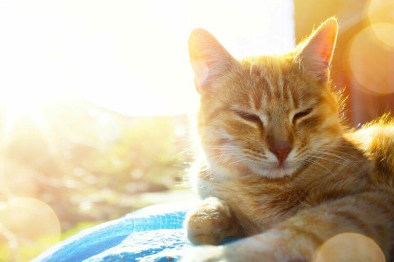 Kissa makaa auringossa - kissan viilentäminen helteellä