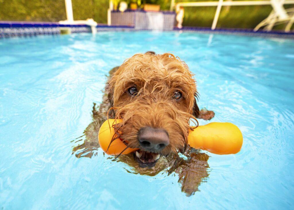 Koiran viilennys uimalla