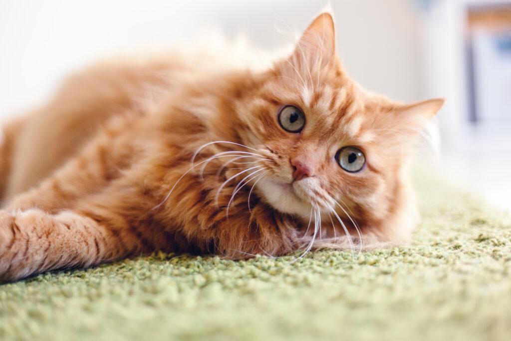 Kissan ripuliin voi liittyä monia muita oireita, kuten esimerkiksi vatsakipua.