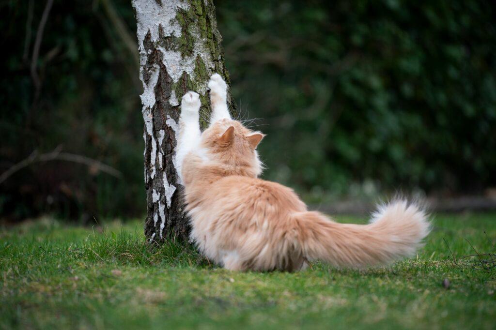Koivu on erinomainen raapimispuu kissalle