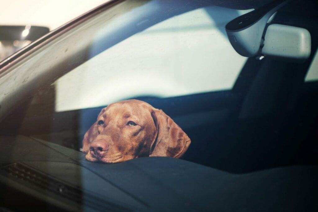 Autossa lämpötila nousee muutamassa minuutissa - koiran lämpöhalvaus uhkaa.