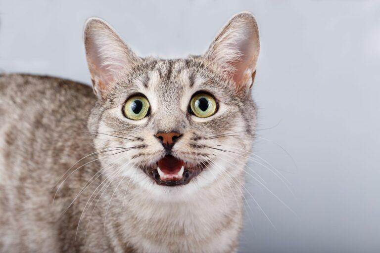 Kissan äänet: kissa naukuu