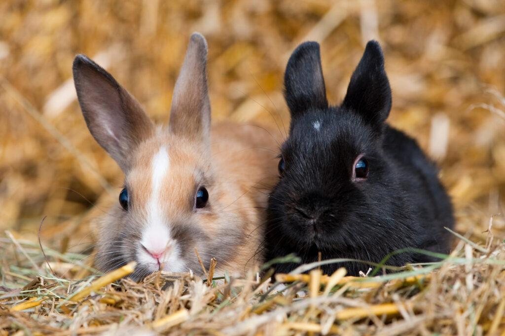 kaksi kania