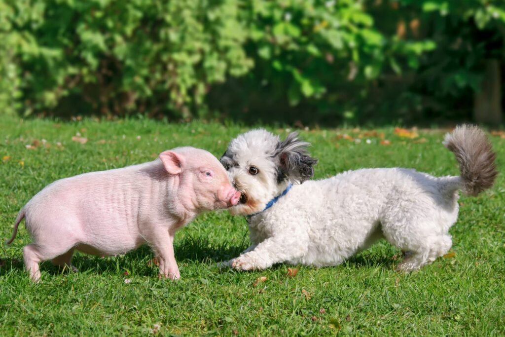 Minipossu ja koira leikkivät